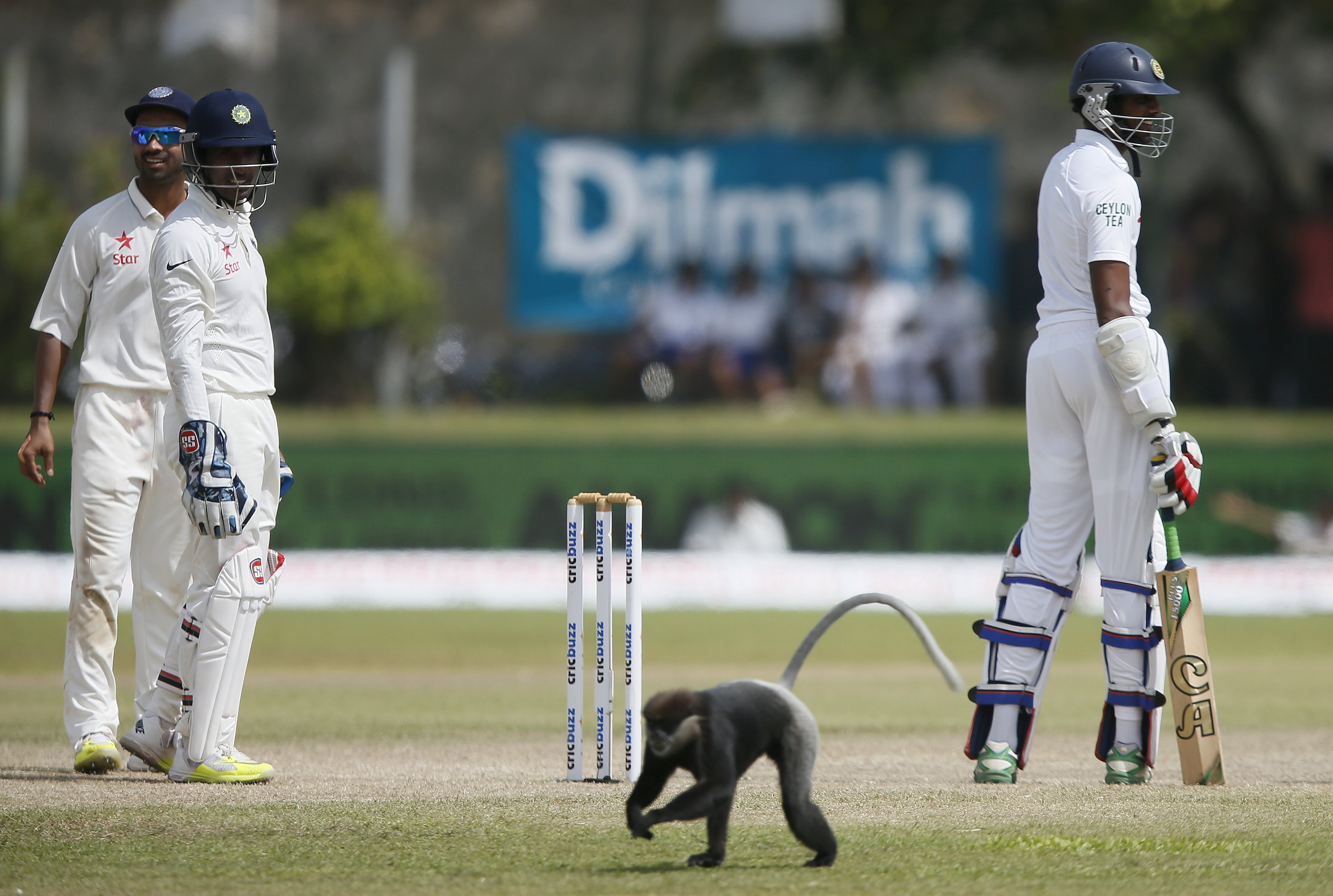 Monkey on cricket ground in Sri Lanka
